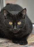Black cat. With yellow eyes on a light yellow background royalty free stock photos