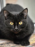 Black cat. With yellow eyes on a light yellow background royalty free stock photo