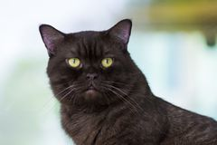 Black cat yellow eyes look you. Black cat portrait, focus on yellow eyes. He looks want to talk with you royalty free stock photo