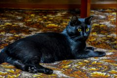 The black cat with yellow eyes lying on the carpet royalty free stock image
