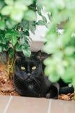 Black cat with yellow eyes lying near the rose bush in the garden. Adorable feline shot outdoor stock photos