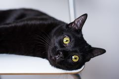 Black cat with yellow eyes lying on white chair looking beside camera royalty free stock photography