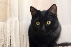 Black Cat and home curtain. Black cat with the yellow eyes peeking out from behind the curtain Stock Photos