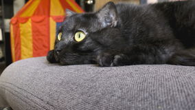 Black cat with yellow eyes stock video