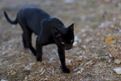 Black cat with yellow eyes walking down the street royalty free stock photos