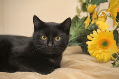 Black cat and yellow flowers Stock Photos