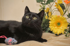 Black cat and yellow flowers Royalty Free Stock Photography