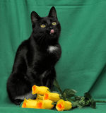 Black cat with yellow roses Stock Photography