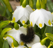 Black  caterpillar bent on a snowdrop in the garden Royalty Free Stock Photography