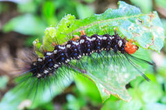 Black caterpillar Stock Photography