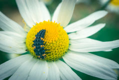 Black caterpillar on white daisy. Macro shot of a black caterpillar on white and yellow daisy Stock Photography