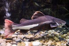 Black catfish. Full body shot of a huge catfish stock image