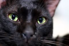 Black cats eye staring. In close up stock images