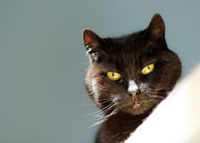 Black Cats Face with Bright Amber Eyes Stock Photo