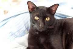 Black cats gaze face Royalty Free Stock Photography