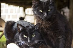 Black cats looking at the camera. Black cat stock image