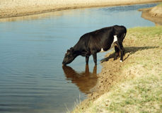 Black cattle stock photography