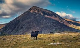 Black Cattle on Mountain Pastures. With a scenic mountain in background. Snowdonia National Park in North Wales, UK Stock Images