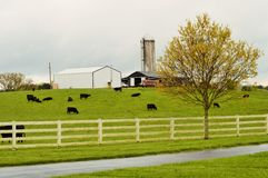 Black cattle in a pasture Stock Photos