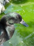 Black Cayuga duck portrait, green water background. Vertical. Black Cayuga duck portrait, green water background. This beautiful all black domestic breed duck Royalty Free Stock Photography