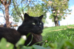 Black Chantilly cat Stock Images