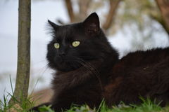 Black Chantilly cat Royalty Free Stock Images