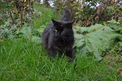 Black Chantilly Tiffamy cat in the garden Stock Images