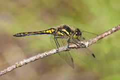 Black Chaser Dragonfly Royalty Free Stock Photography