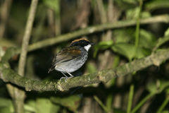 Black-cheeked gnateater, Conopophaga melanops Stock Image