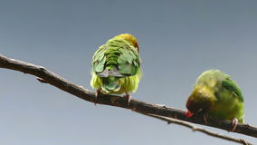 BLACK-CHEEKED LOVEBIRD (AGAPORNIS NIGRIGENIS). Couple of parrots on a branch, while they move and relate stock footage