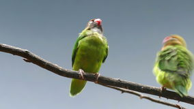BLACK-CHEEKED LOVEBIRD (AGAPORNIS NIGRIGENIS). stock video footage