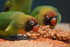 Black-Cheeked Lovebirds (Agapornis Nigrigenis). Black-cheecked lovebirds (Agapornis Nigrigenis) eating a seed mix together. It is one of the most endangered Royalty Free Stock Image