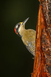 Black-cheeked Woodpecker Stock Photography