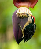 Black Cheeked Woodpecker Stock Image