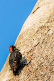 Black-cheeked Woodpecker Stock Photos