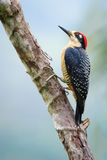 Black-cheeked Woodpecker, Costa Rica Royalty Free Stock Photography