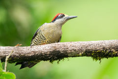 Black-cheeked Woodpecker Stock Image