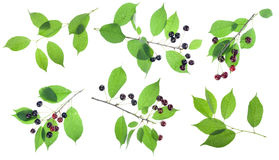 Black cherries branches set Stock Photo