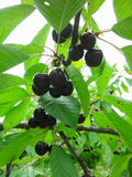 Black cherries growing on branch Stock Photos
