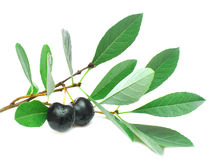 Black cherries isolated on white Stock Photos