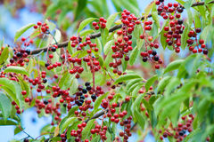 Black cherry fruit on the tree Royalty Free Stock Image