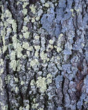Black Cherry Tree (Prunus serotine) Bark and Lichen Royalty Free Stock Photography