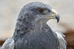 Black-Chested Buzzard-Eagle �� Colca valley, Peru. Royalty Free Stock Photos