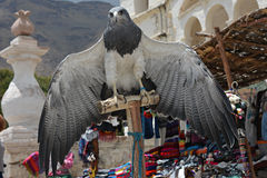 Black-Chested Buzzard-Eagle �� Colca valley, Peru. Royalty Free Stock Photography