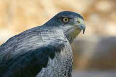 Black-chested Buzzard-Eagle Stock Photo