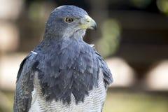 Black-chested buzzard-eagle Stock Image