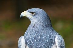 Black chested buzzard eagle, Aguja, Grey Eagle-Buzzard Royalty Free Stock Images
