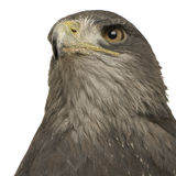 Black-chested Buzzard-eagle () - Geranoaetus melan Royalty Free Stock Photos