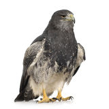 Black-chested Buzzard-eagle () - Geranoaetus melan Stock Images