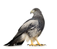 Black-chested Buzzard-eagle - Geranoaetus melanole Royalty Free Stock Photography